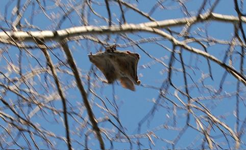 Flying Squirrel Gliding After Making A Jump Photo By A. Freeman
