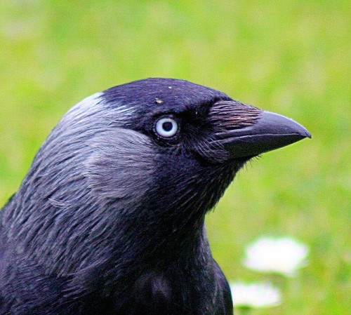 Jackdaw Photo By John Haslam