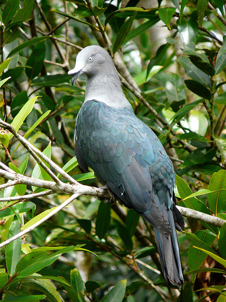 Marquesan Imperial Pigeon Photo By Samuel Etienne