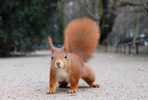Red Squirrel (Eurasian Red Squirrel)