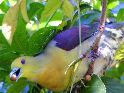 White-bellied Green Pigeon Photo By Charles Lam