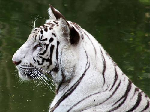 White Bengal Tiger Photo By Santosh Namby Chandran