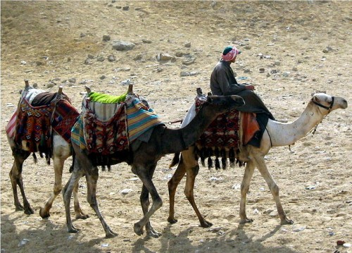 Camels And Herder Photo By Jordan Busson