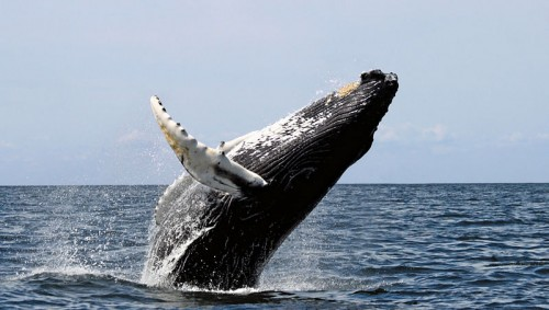 Humpback Whale Photo By Whit Welles