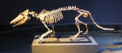 Skeleton Of Pakicetus