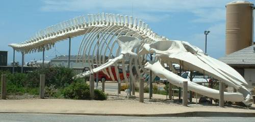 Optimized-Blue Whale Skeleton Photo By Bronwen Lea