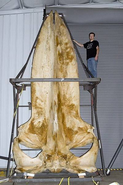 Blue Whale Skull 5.8 Metres (19 feet) 