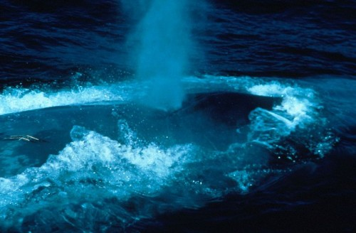 The Blue Whale Photo By Fred Benko