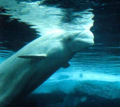 Beluga Whale Photo By Eva Hejda Of footos.naturspot.de