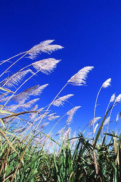 Biofuel Miscanthus Photo By Scott Bauer