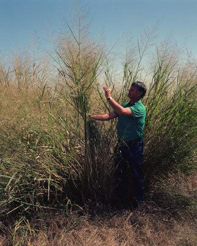 Biofuel Switchgrass Photo By Warren Gretz
