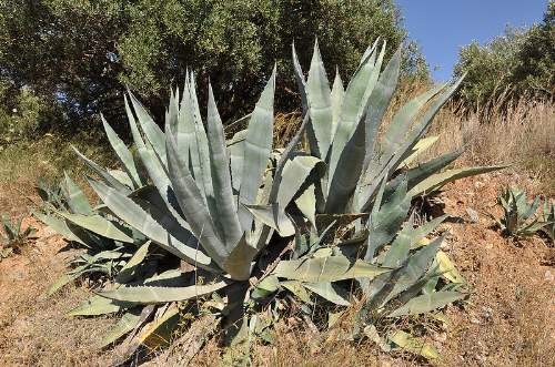 Biofuels Agave americana Photo By Marc Ryckaert