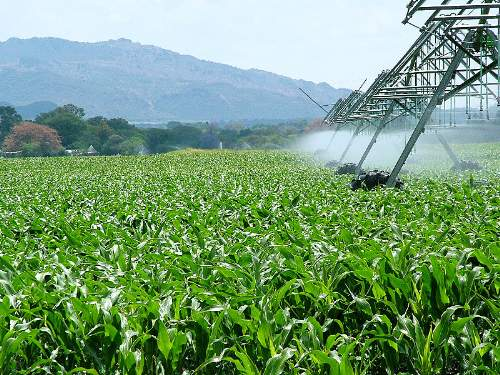 Biofuels Cornfield In South Africa Which Can Be Used To Create Ethanol