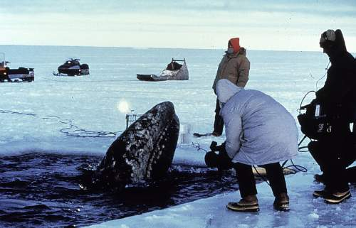 Gray Whale Trapped In The Bering Sea Icepack