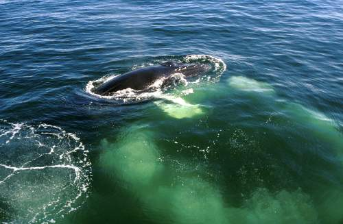 Humpback Whale Bubble Net Feeding Photo By NOAA
