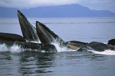 Humpback Whale Pod Feeding Photo By NOAA