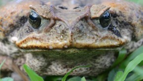 Cane Toad Photo By Geoff Gallice