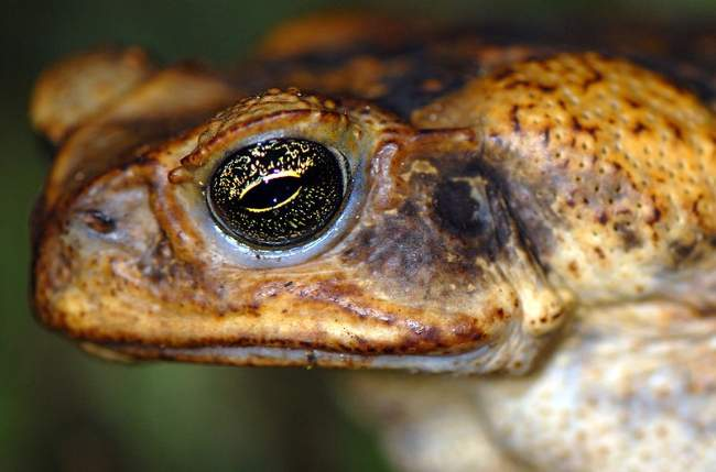 Cane Toad Photo By Sam Fraser-Smith