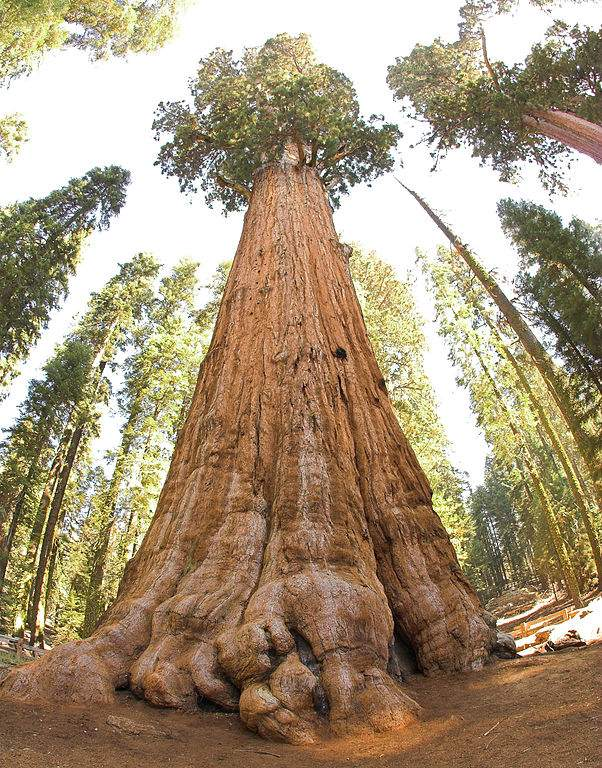 General Sherman Redwood Tree Photo By Jim Bahn